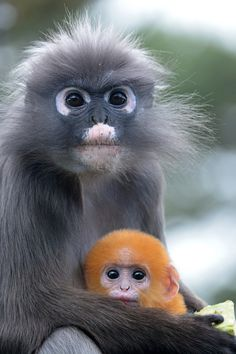 Dusky Leaf Monkey & Young | Brillangoer (Trachypithecus obscurus) Burgers' Zoo, Arnhem, The Netherlands Conservation status: Near threatened