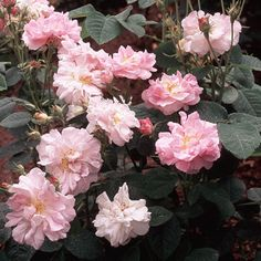'Amélie' Amelia alba rose, a compact, 4 x 3ft, old fashioned rose. Large flowers very fragrant semi-double.These arepure pink, withpronounced golden stamens. Long red hips. Very healthy. Very attractive to bees and wildlife.
