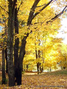 Yellow leaves on fall trees in Gatineau, Quebec