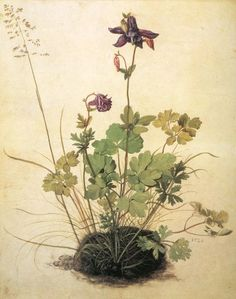 Ancolie (Aquilegia vulgaris L.)  Albercht Durer