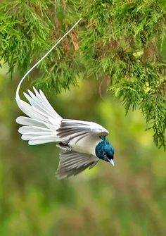 Paradise Flycatcher (Terpsiphon), a genus of monarch flycatchers. They range across Africa and Asia, as well as a number of islands. A few species are migratory, but the majority are resident