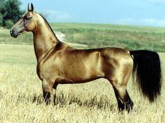 Golden Buckskin Akhal-Teke | buckskin horses