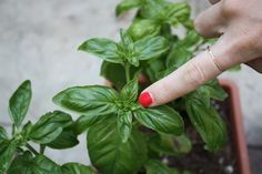 How to Take Care of Basil Plants