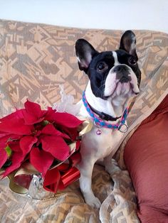 Lola's Christmas, French Bulldog