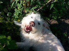 #westie #garden #dog #organic #treats #Blanchard's Blessings  Benji in his mom's garden :)