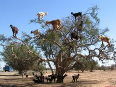 Morocco is the probably only country in the world where goats graze not on the land, as it supposed to do to their kin, but on trees.