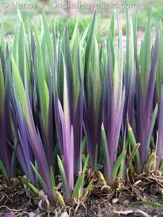 The purple spring foliage of Iris x robusta 'Gerald Darby'; Nancy J. Ondra at Hayefield.com