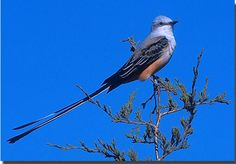 """From its long tail to its famous """"sky dance,"""" no other Oklahoma bird is more striking and identifiable than the Scissor-tailed Flycatcher. It was officially adopted by the State Legislature May 5, 1951 as the Oklahoma state bird."""