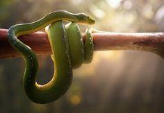 Tree Snake by Fahmi Bhs