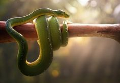 Tree Snake by Fahmi Bhs