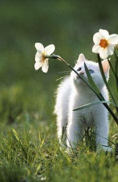 kitten enjoying the daffodils