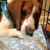 Waldorf Maryland Beagle Meet Jingles Joppa A For Adoption
