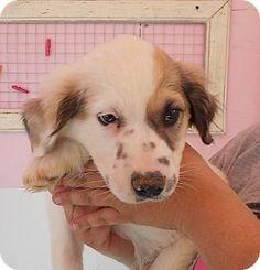 Tishomingo, OK - Great Pyrenees Mix. Meet Heath, a puppy for adoption. http://www.adoptapet.com/pet/12457815-tishomingo-oklahoma-great-pyrenees-mix