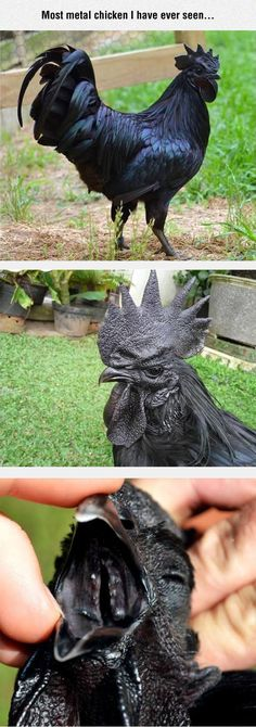 Funny pictures about Metal Chicken. Oh, and cool pics about Metal Chicken. Also, Metal Chicken photos. Beautiful Chickens, Beautiful Birds, Animals Beautiful, Rare Animals, Animals And Pets, Funny Animals, Black Chickens, Chickens And Roosters, Metal Chicken