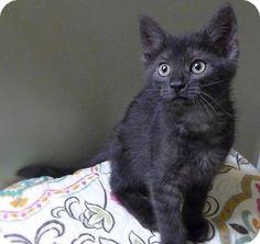 Westampton, NJ - Domestic Shorthair. Meet C-70072 Jade, a kitten for adoption. http://www.adoptapet.com/pet/15745281-westampton-new-jersey-kitten