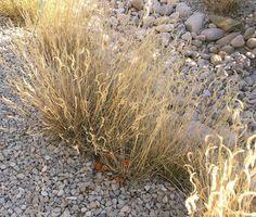 Blue Grama Grass in the fall