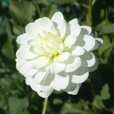 Swan Island Dahlias providing the highest quality dahlia bulbs and dahlia flower White Dahlias, White Flowers, Flowers For You, Cut Flowers, Flower Boxes, My Flower, September Flowers, Growing Dahlias, Summer Plants