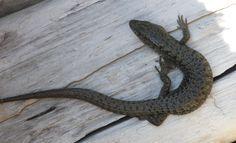 Northern Alligator Lizard at the cabin! Chameleons, Lizards, Snakes, Reptiles And Amphibians, Mammals, Chameleon Lizard, Terrarium, Creatures, Cabin