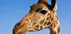 Almoçando com as girafas