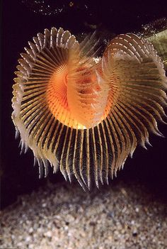 Underwater world - Onder water wereld: Heart Feather Duster Under The Water, Life Under The Sea, Under The Ocean, Sea And Ocean, Beautiful Sea Creatures, Deep Sea Creatures, Underwater Creatures, Underwater Life, Beneath The Sea