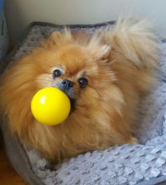 Sweet Pomeranian with its ball. (My Pom LOVED to play ball!)