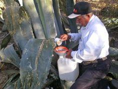 agava americana bio Succulent Landscaping, Plant Species, Cool Photos, Herbs, Image, Sun, Island, Fruit, Herb