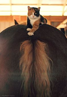 Calico cat laying on a horse's back -- they fit each other perfectly!