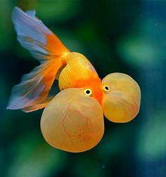 Bubble eyed goldfish.