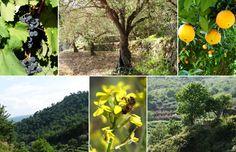 Vegetación Etna: Naranjas, Uva