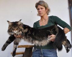 European Maine Coon Cat -  Austria. maine_coon_enzo http://www.winerau.at/