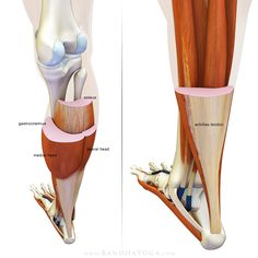 The Daily Bandha:  The gastrocnemius and soleus muscles in cross-section.