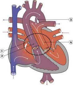 Transposition of the Great Arteries – White Coat Underground Congenital Heart Defect, Scooby Doo, Medicine, Coat, Sewing Coat, Peacoats, Medical, Coats, Jacket