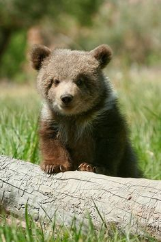 baby bear - Google Search Cute Wild Animals, Animals Beautiful, Funny Animals, Bear Pictures, Animal Pictures, Nature Animals, Animals And Pets, Bear Cubs, Grizzly Bears