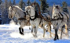 White Horses in the Snow | HD wallpaper of white horses running through the snow in the winter ...