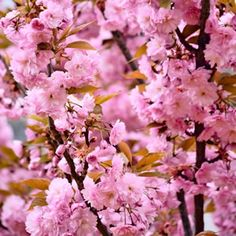 <p> <em>Prunus Cheal</em><br /> <br /> A stunning weeping cherry with a very showy mid-spring display of large clusters of double pink flowers.  The flower clusters hang gracefully on spreading branches.  Not only do they provide a stunning spring show, but in autumn foliage colour is yellow, orange or scarlet.   Prefers a full su...