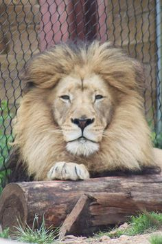 Great lion photo...though he's at the zoo, which makes me just a little sad.