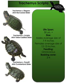Slider Turtle Care Trachemys 40 Ideas On Pinterest Turtle Care Slider Turtle Turtle