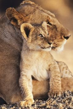 Lioness & Cub @ http://earthlynation.tumblr.com/post/31787466391/lioness-and-cub-source source | AllPosters.com