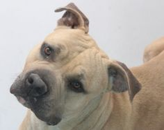TITAN is an adopted English Bulldog Dog in Las Vegas, NV. Hi everyone, I'm Titan! I look to be some kind of English Bulldog/Mastiff mix but only 65lbs. I was rescued from a kill shelter after being th...