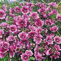 1000 images about plantas medicinales on pinterest - Infusion de malva ...