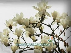 Φυλλοβόλοι ανθοφόροι θάμνοι : Μανόλια φυλλοβόλα άσπρη - Μαγνόλια - Magnolia Denudata Yulan