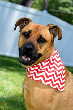 Tucker of #TandECollarShop.  Red and White Chevron Bandana. Dog photos. Rescue Dog. Mutt. Missed Breed. Picture taken by: Mallory Clark