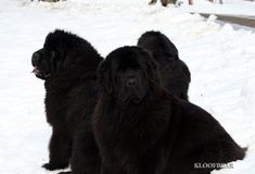 Love the Kloofbear Newfoundlands