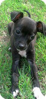 Mesa, AZ - Whippet/Boston Terrier Mix. Meet NIKITA, a dog ...