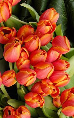 Pinned by sherry decker Tulips Flowers, Tropical Flowers, My Flower, Daffodils, Spring Flowers, Flower Art, Planting Flowers, Beautiful Flowers, Tulips Garden