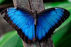 mariposas-morpho-azules.jpg