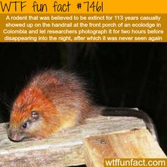 This rodent is thought to be extinct for 100 years - Facts