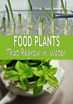 Food Plants That Regrow in Wateris a great way of multiplying the plants you have and sharing the plant love with friends. It's a simple way to stretch your grocery dollars and provide a pleasant flavors in your kitchen. This is a great way of multiplying the plants you have and sharing the plant love with friends.