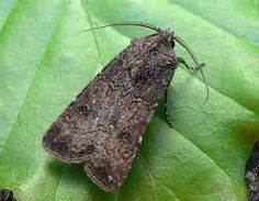 A mocskospajor - mi az a mocskospajor - gazigazito. Moth, Insects, Animals, Animales, Animaux, Animal, Animais
