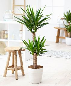 plants Interieur yucca - 17 Best Indoor Trees (and Tropical Plants) to Grow in Your Living Room Yucca Plant Indoor, Indoor Tree Plants, Best Indoor Trees, Leafy Plants, Big Plants, Cool Plants, Outdoor Plants, Tropical Plants, Trees To Plant